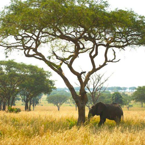 Elephant Uganda Africa