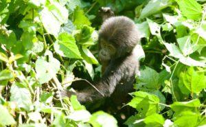 Gorilla baby Uganda