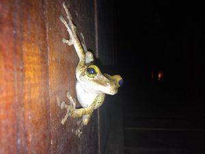 Jungle frog Ecuador