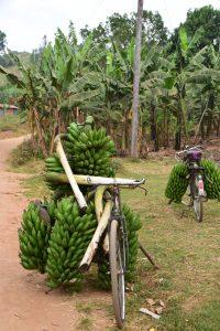 Uganda_bananas