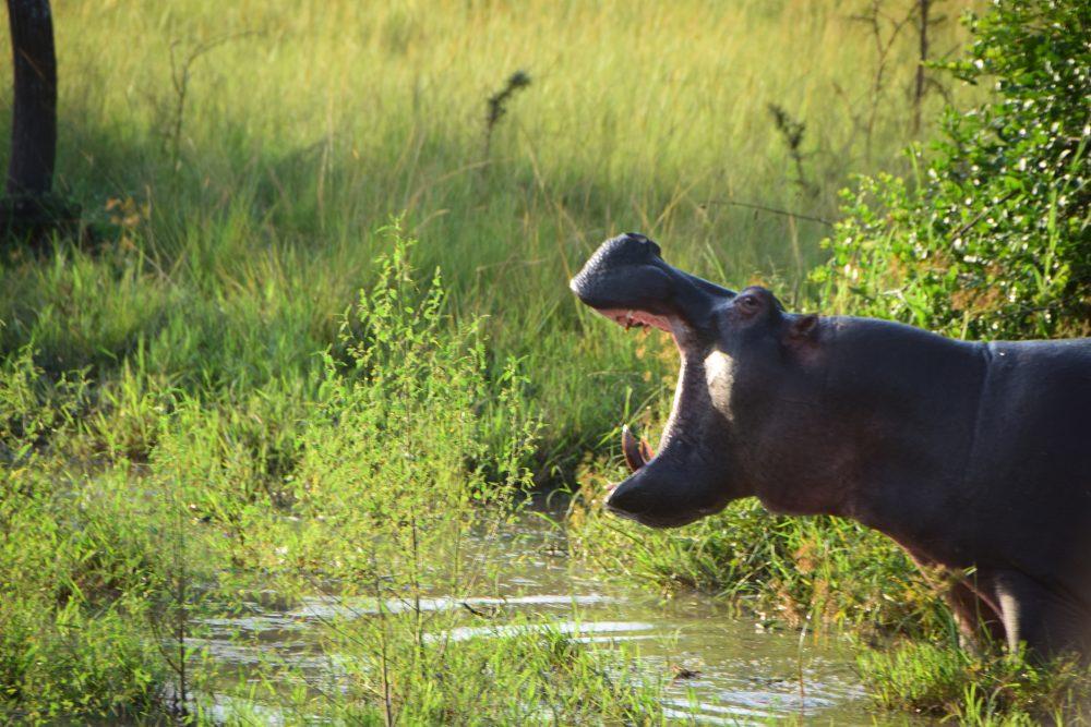 Uganda_Hippo
