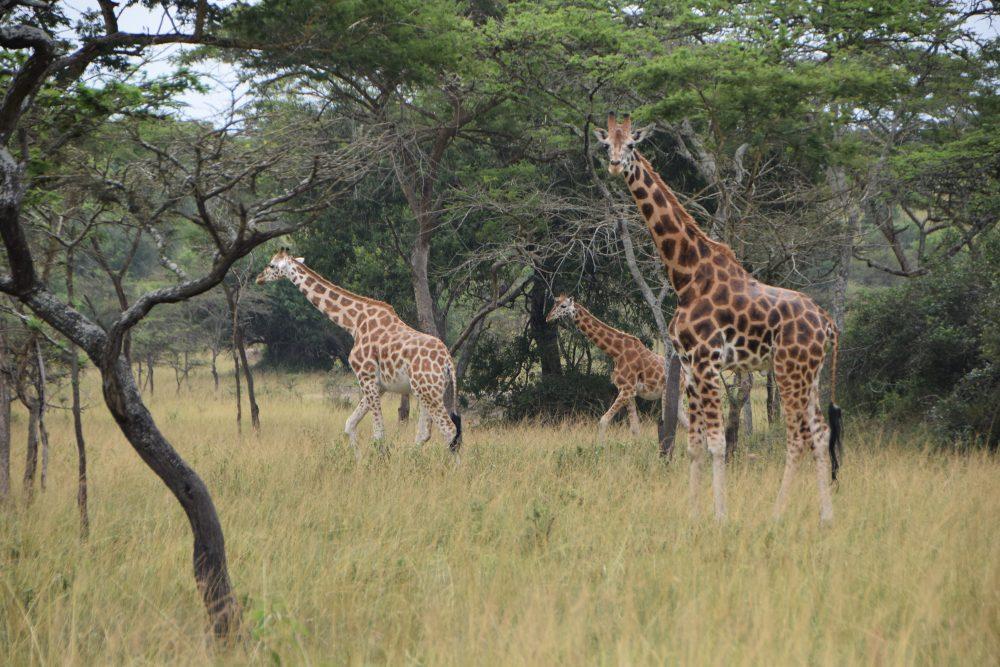 Uganda_Giraffe