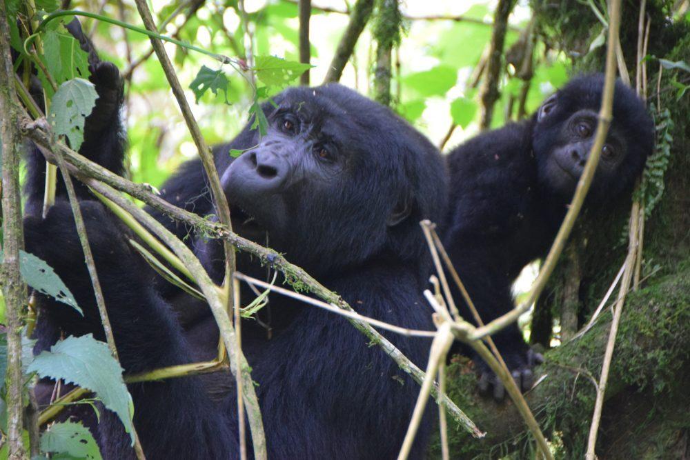 Uganda_mountain gorilla