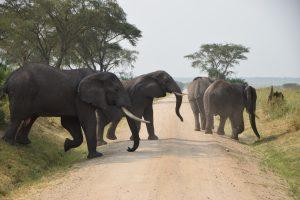 Uganda elephants