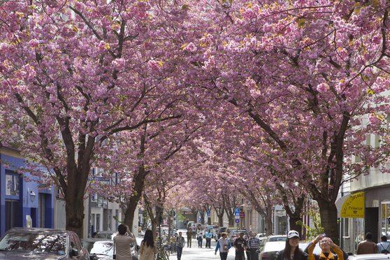 Cherry Blossoms © Bundesstadt Bonn